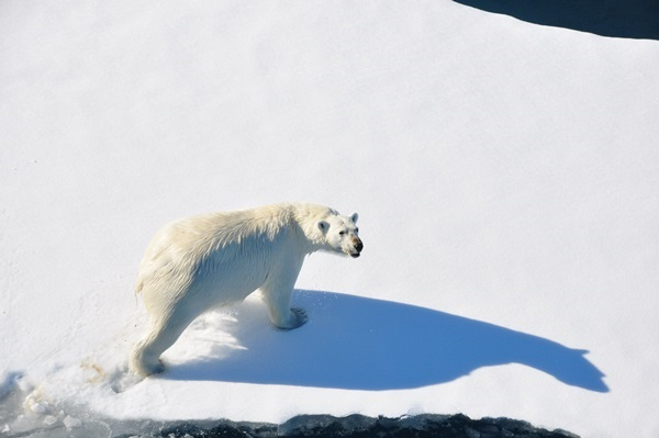 A polar bear passes on a melting iceberg in the Arctic. (Photo by Korea Polar Research Institute)